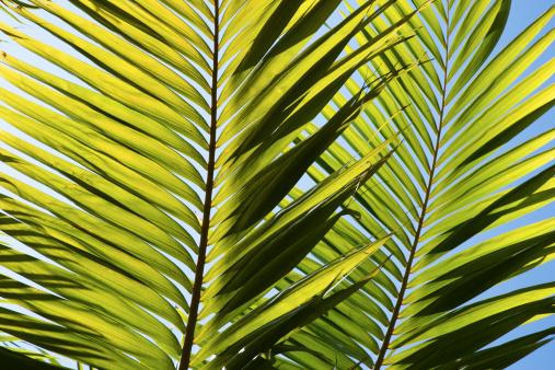 Frond「Palm fronds」:スマホ壁紙(16)