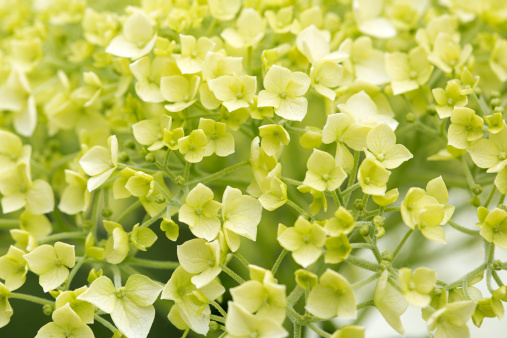 North Brabant「Smooth hydrangea, close-up of flower head」:スマホ壁紙(8)