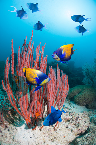 Soft Coral「Angelfish over coral reef」:スマホ壁紙(11)