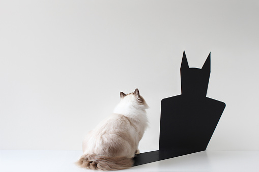 Concepts & Topics「Conceptual ragdoll cat looking at bat shadow」:スマホ壁紙(9)
