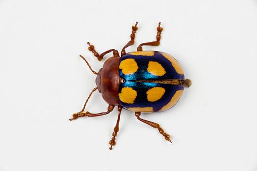 Beetle「Long horned beetle Diastocera wallichi」:スマホ壁紙(11)