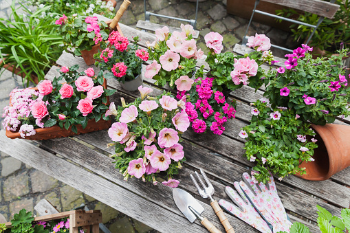 Planting「Gardening, planting of summer flowers, petunia, verbena, gerania, Impatiens walleriana, rose, Rosaceae」:スマホ壁紙(11)