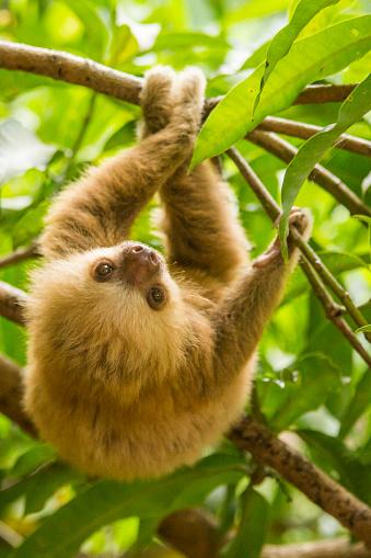Rainforest「Costa Rica, baby sloth.」:スマホ壁紙(1)