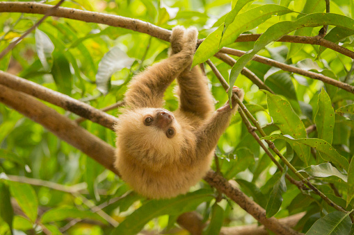Animals In The Wild「Costa Rica, baby sloth.」:スマホ壁紙(0)