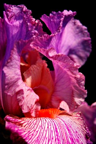 Iris - Eye「Bearded iris」:スマホ壁紙(15)