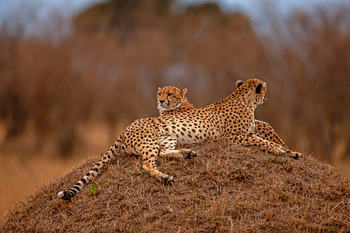 African Cheetah「Two adult cheetahs (Acinonyx jubatus) are resting at plain」:スマホ壁紙(14)