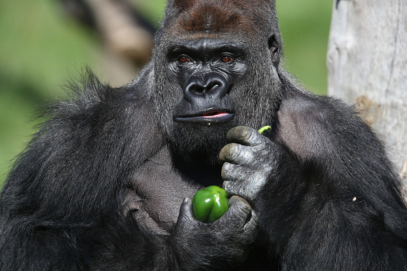 Gorilla「Silverback Gorilla Joins  London Zoo」:写真・画像(5)[壁紙.com]