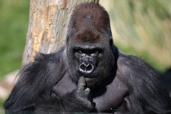 Gorilla「Silverback Gorilla Joins  London Zoo」:写真・画像(2)[壁紙.com]