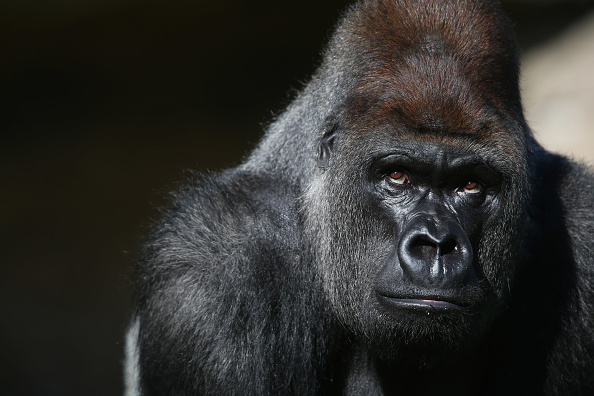 Gorilla「Silverback Gorilla Joins  London Zoo」:写真・画像(1)[壁紙.com]