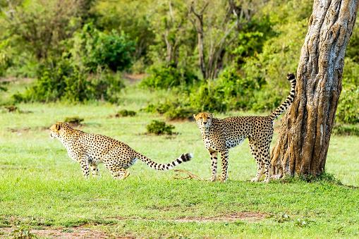 African Cheetah「Cheetahs patrolling for signing in wild」:スマホ壁紙(10)