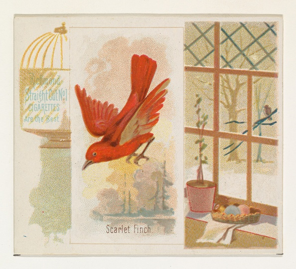 Songbird「Scarlet Finch」:写真・画像(0)[壁紙.com]