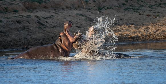 カバ「Two hippo bulls fighting, Kruger National Park, South Africa」:スマホ壁紙(12)