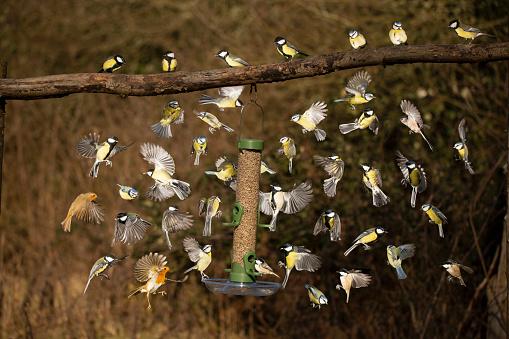 Eating「British domestic birds feeding at a bird feeder」:スマホ壁紙(4)