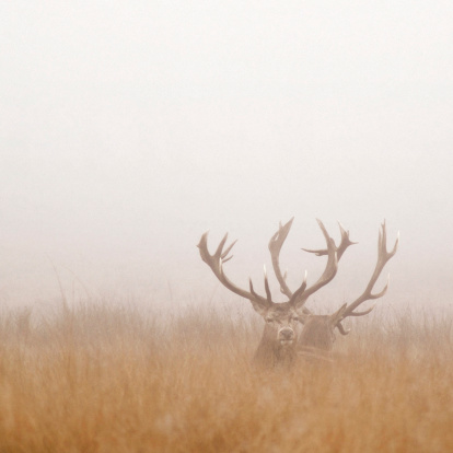 Nature Park「Two Stag Deer Resting in Field on Foggy Day」:スマホ壁紙(19)