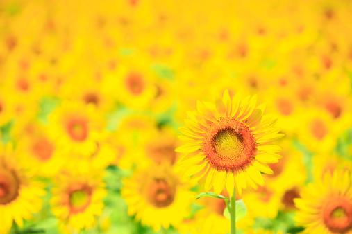 ひまわり「Sunflower, Nagano Prefecture, Japan」:スマホ壁紙(12)