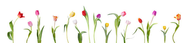 Dancing Tulips:スマホ壁紙(壁紙.com)