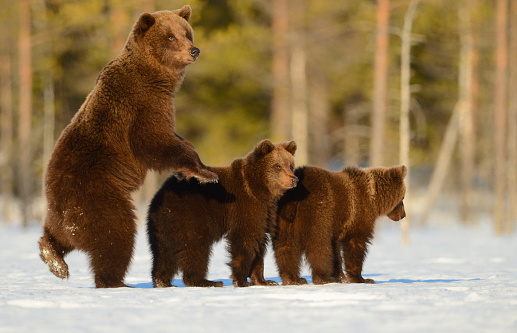 Bear Cub「female brown bear with two cubs on a bog covered with snow」:スマホ壁紙(8)