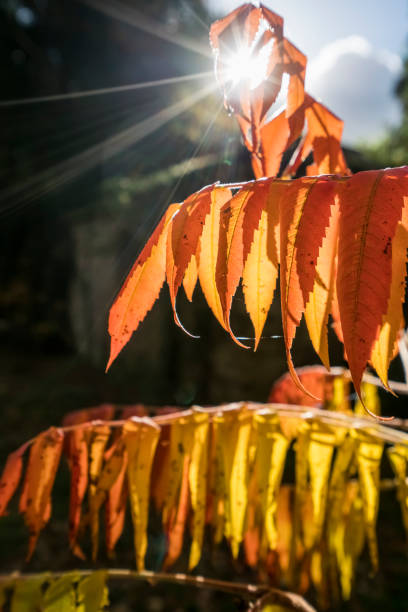 Brown leaves drooping from their branches backlit by the sunlight:スマホ壁紙(壁紙.com)