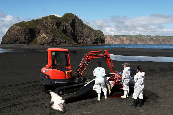 Killer Whale「Scientists Investigate Cause Of Death Of Dead Orca On West Auckland Beach」:写真・画像(18)[壁紙.com]