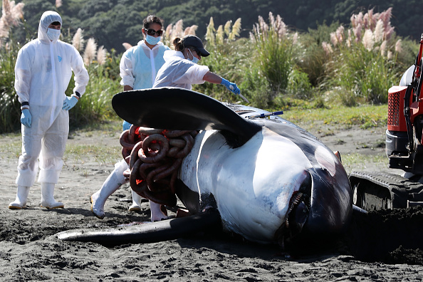 Killer Whale「Scientists Investigate Cause Of Death Of Dead Orca On West Auckland Beach」:写真・画像(10)[壁紙.com]