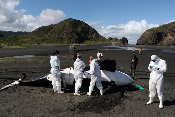 Scientists Investigate Cause Of Death Of Dead Orca On West Auckland Beach:ニュース(壁紙.com)