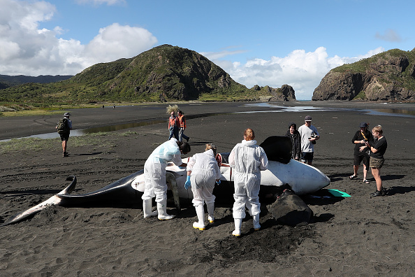 Killer Whale「Scientists Investigate Cause Of Death Of Dead Orca On West Auckland Beach」:写真・画像(19)[壁紙.com]