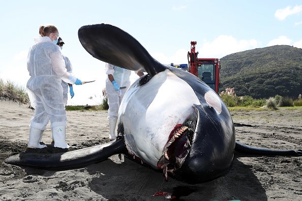 Killer Whale「Scientists Investigate Cause Of Death Of Dead Orca On West Auckland Beach」:写真・画像(1)[壁紙.com]