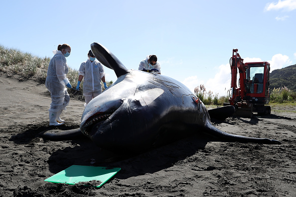 Killer Whale「Scientists Investigate Cause Of Death Of Dead Orca On West Auckland Beach」:写真・画像(16)[壁紙.com]