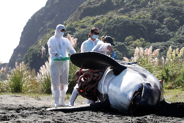 Killer Whale「Scientists Investigate Cause Of Death Of Dead Orca On West Auckland Beach」:写真・画像(5)[壁紙.com]