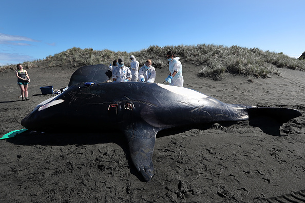 Killer Whale「Scientists Investigate Cause Of Death Of Dead Orca On West Auckland Beach」:写真・画像(14)[壁紙.com]