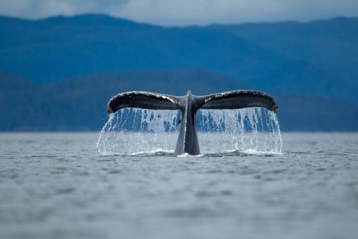 クジラ「Diving Humpback Whale, Alaska」:スマホ壁紙(9)