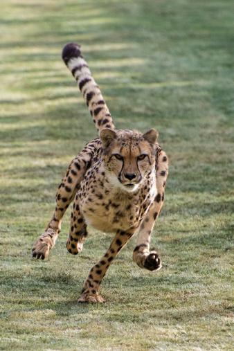 Big Cat「Cheetah running fast」:スマホ壁紙(5)