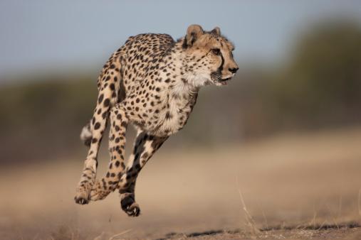 Focus On Background「A Cheetah running through the Savannah.」:スマホ壁紙(4)