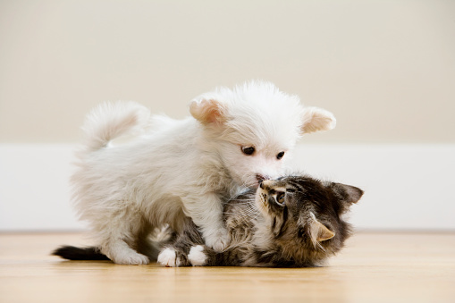 Mixed-Breed Cat「Puppy Wrestling With a Kitten」:スマホ壁紙(9)