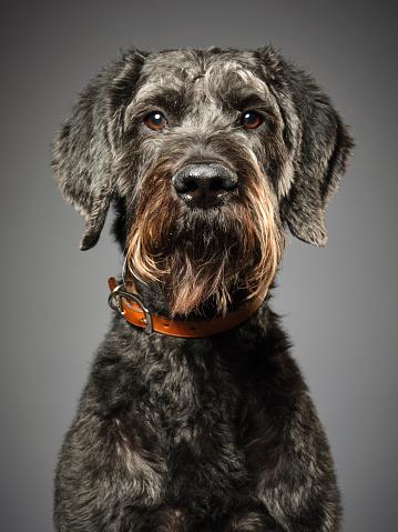 Animal Eye「Giant Schnauzer Poodle Mix Dog Giant Schnoodle」:スマホ壁紙(7)