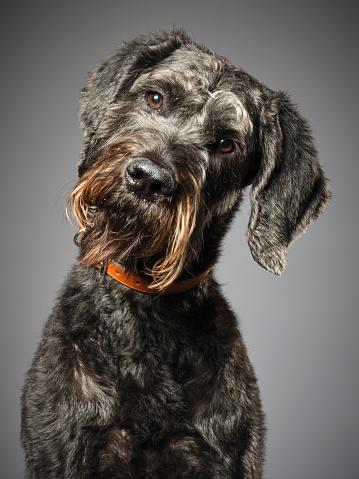 Schnauzer「Giant Schnauzer Poodle Mix Dog Giant Schnoodle」:スマホ壁紙(9)