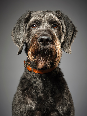 Animal Hair「Giant Schnauzer Poodle Mix Dog Giant Schnoodle」:スマホ壁紙(19)