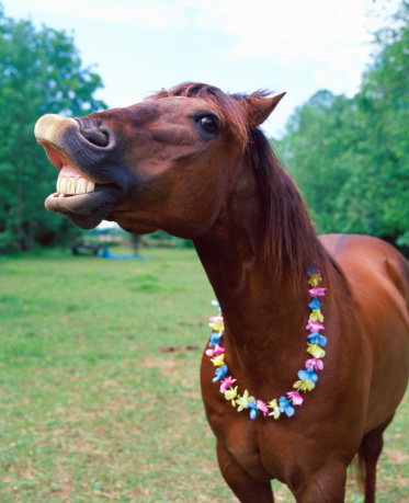 草食性「Brown horse wearing necklace, baring teeth, close-up」:スマホ壁紙(0)