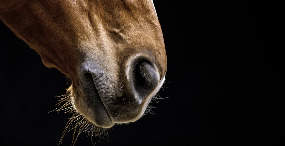 Horse「Brown horse on black background」:スマホ壁紙(14)