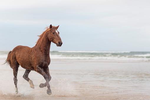 Horse「Brown horse running on a beach」:スマホ壁紙(13)