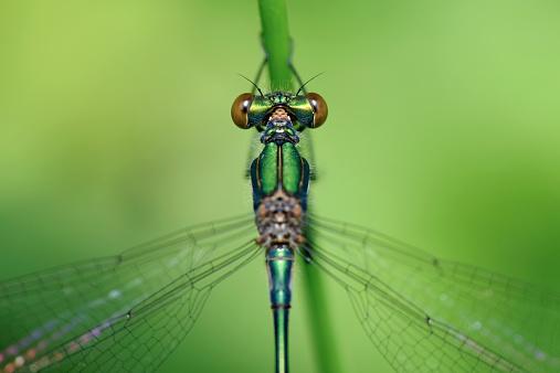 とんぼ「England, Emerald Damselfly, Lestes sponsa, Close-up」:スマホ壁紙(12)