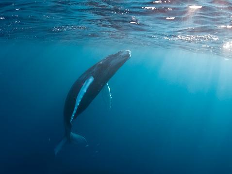 クジラ「Dominican Republic, Silverbanks, Humpback whale, Megaptera novaeangliae」:スマホ壁紙(4)