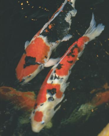 Carp「Koi swimming in pool」:スマホ壁紙(6)
