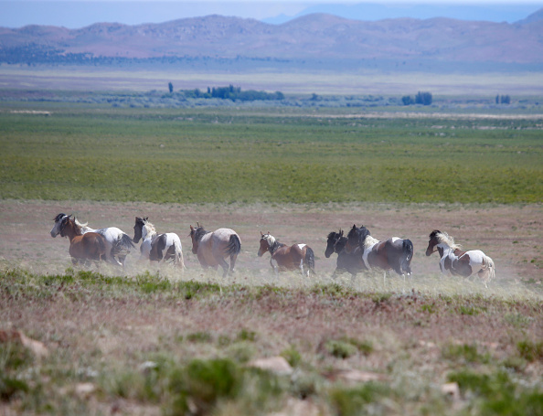 野生動物「Trump Bureau Of Land Management Budget Seeks To Cull U.S. Wild Horses」:写真・画像(14)[壁紙.com]