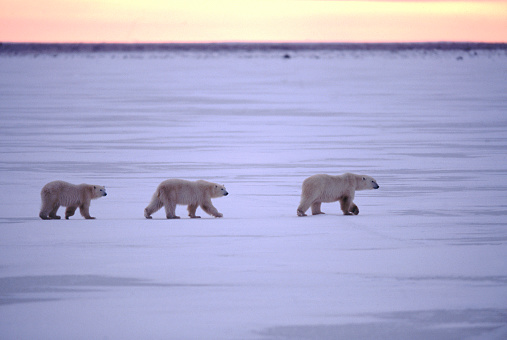 Polar Bear「Migrating Polar Bears, Manitoba, Canada」:スマホ壁紙(0)
