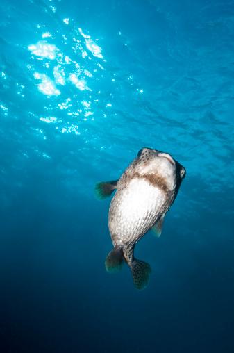 熱帯魚「Pocupinefish in blue water, Byron Bay, Australia.」:スマホ壁紙(7)
