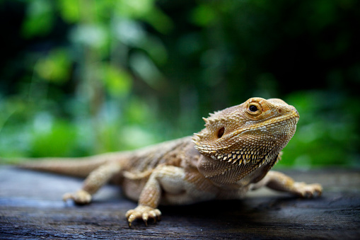 Amphibian「A pogona lizard sitting on a wooden surface in a forest」:スマホ壁紙(19)