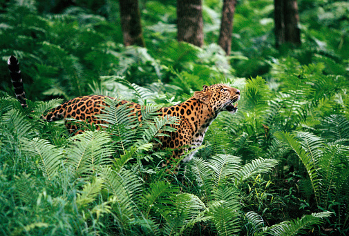 Rainforest「Amur Leopard in Lush Forest」:スマホ壁紙(12)