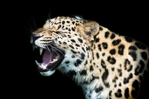 Leopard Print「Amur Leopard on black background growling」:スマホ壁紙(10)