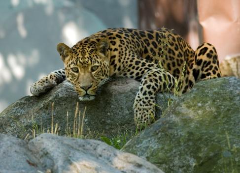 Crouching「Amur Leopard (Panthera pardus orientalis)」:スマホ壁紙(19)